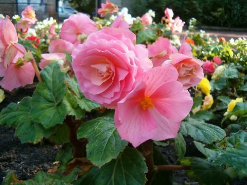 3 mutatós, könnyen gondozható növény a balkonra