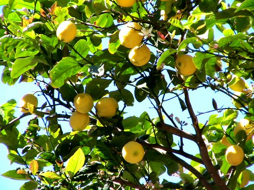 A citromfa és citrusok gondozása. Videó!