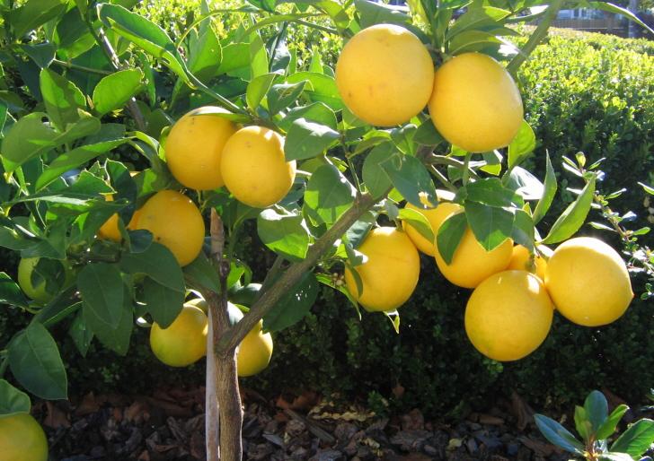 Miért hullik és szárad télen a citromfa levele?