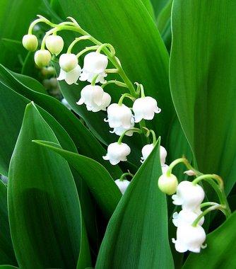 A Májusi gyöngyvirág ültetése és gondozása