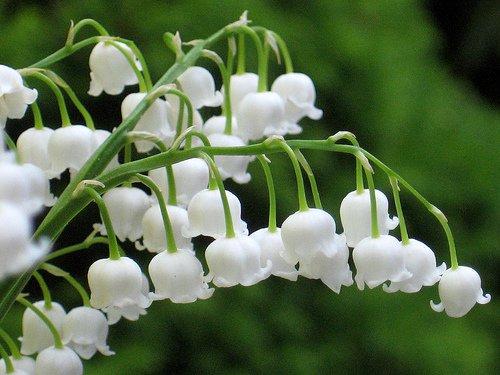 A gyöngyvirág ültetése tavasszal