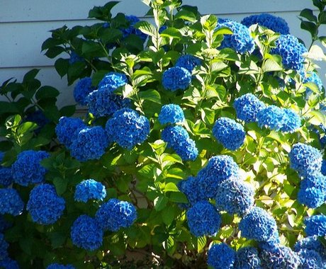 A kerti hortenzia ültetésének a titka!