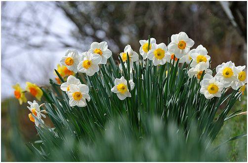 A tavasz legszebb virága a nárcisz