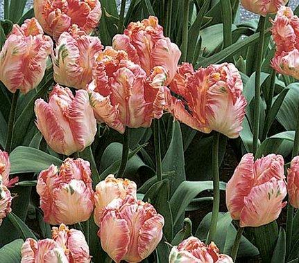 A tulipán ültetése gondozása