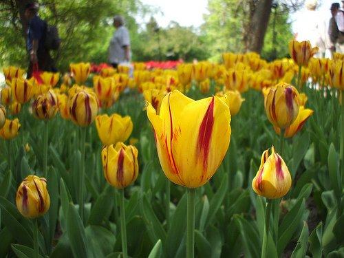 A tavasz kedvence a tulipán. Videóval.