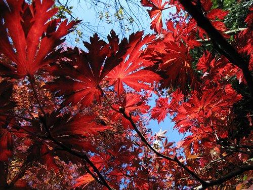 A vörös virágú juhar gondozása