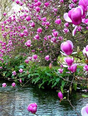 http://www.zoldstudio.viragcenter.hu/noveny/magnolia3.jpg