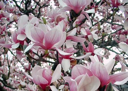 http://www.zoldstudio.viragcenter.hu/noveny/magnolia4.jpg
