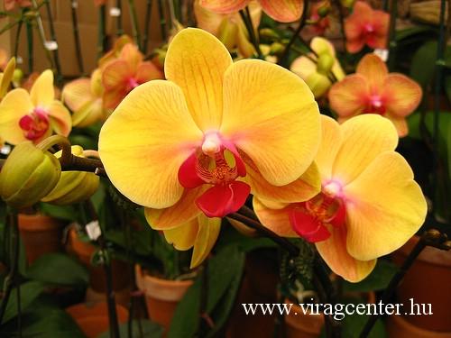 orchidea1.jpg
